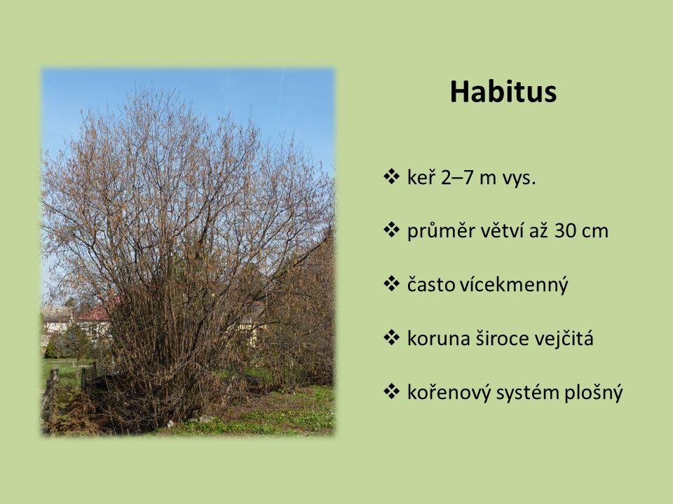 Habitus  keř 2–7 m vys.  průměr větví až 30 cm  často vícekmenný  koruna široce vejčitá  kořenový systém plošný