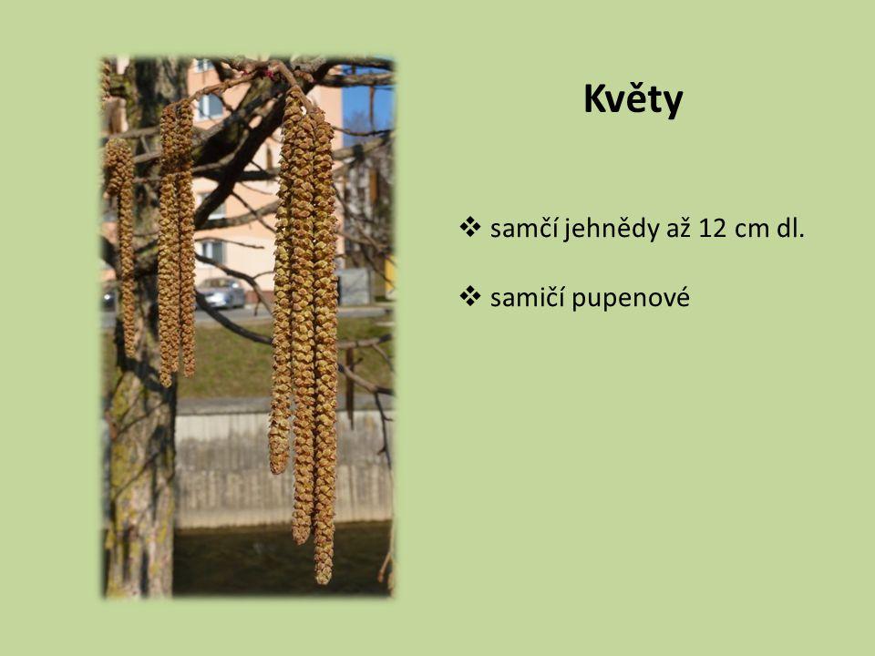 Květy  samčí jehnědy až 12 cm dl.  samičí pupenové