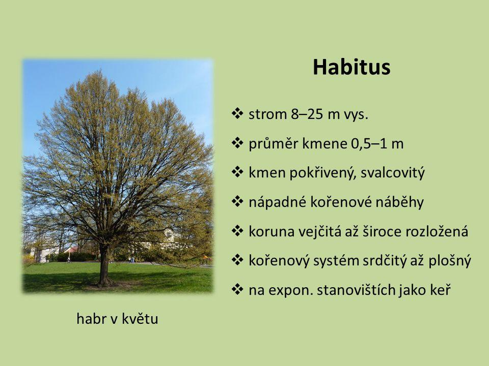 Habitus  strom 8–25 m vys.  průměr kmene 0,5–1 m  kmen pokřivený, svalcovitý  nápadné kořenové náběhy  koruna vejčitá až široce rozložená  kořen