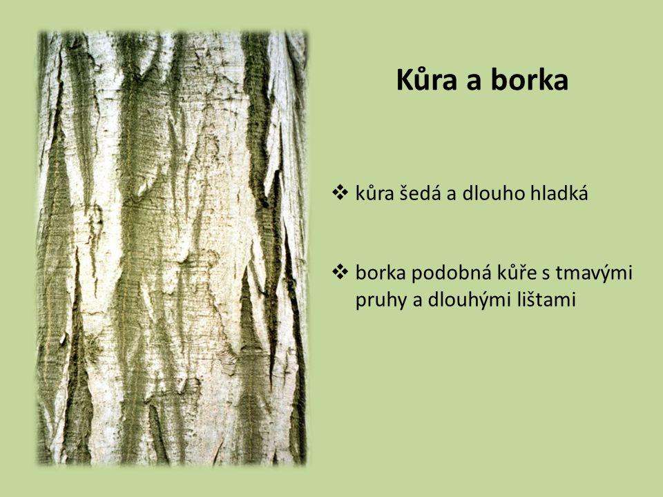 Kůra a borka  kůra šedá a dlouho hladká  borka podobná kůře s tmavými pruhy a dlouhými lištami