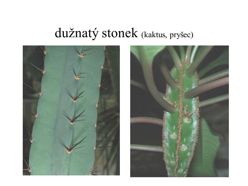 dužnatý stonek (kaktus, pryšec)
