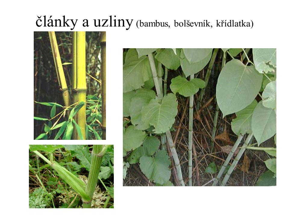 články a uzliny (bambus, bolševník, křídlatka)