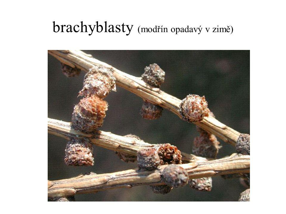 brachyblasty (modřín opadavý v zimě)