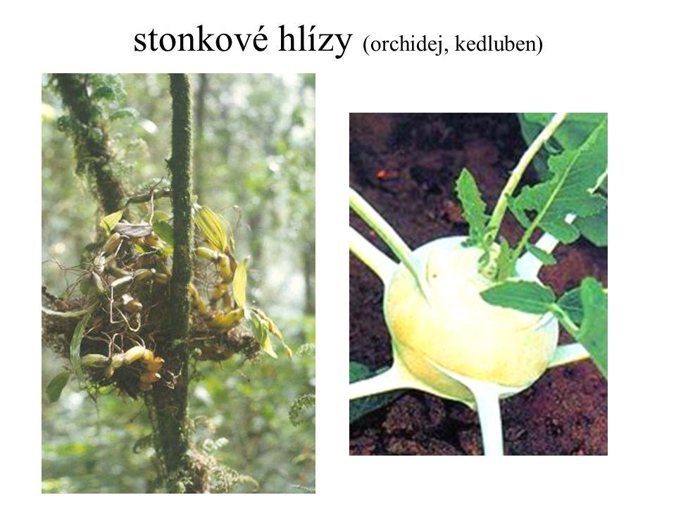 stonkové hlízy (orchidej, kedluben)
