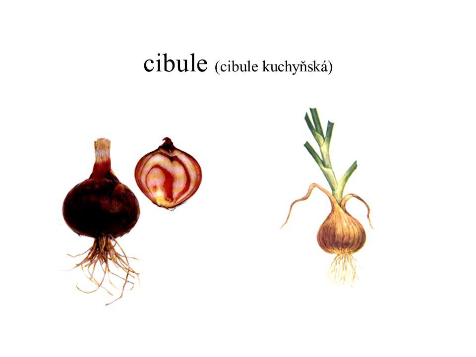 cibule (cibule kuchyňská)