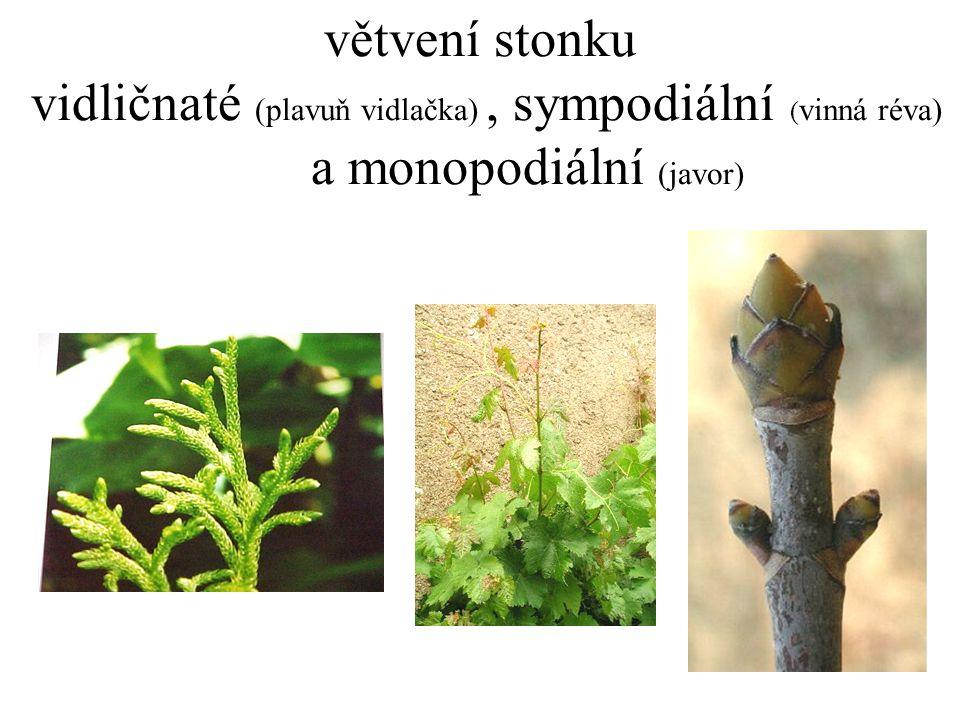 větvení stonku vidličnaté (plavuň vidlačka), sympodiální ( vinná réva) a monopodiální (javor)
