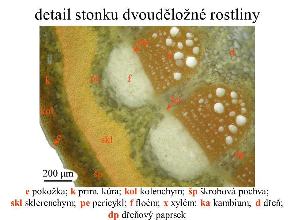 detail stonku dvouděložné rostliny e pokožka; k prim. kůra; kol kolenchym; šp škrobová pochva; skl sklerenchym; pe pericykl; f floém; x xylém; ka kamb