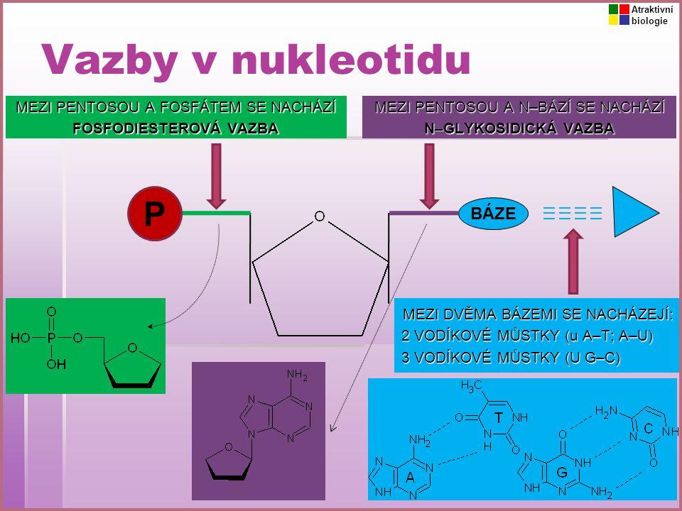 Vazby v nukleotidu P BÁZE MEZI PENTOSOU A FOSFÁTEM SE NACHÁZÍ FOSFODIESTEROVÁ VAZBA MEZI PENTOSOU A N–BÁZÍ SE NACHÁZÍ N–GLYKOSIDICKÁ VAZBA MEZI DVĚMA