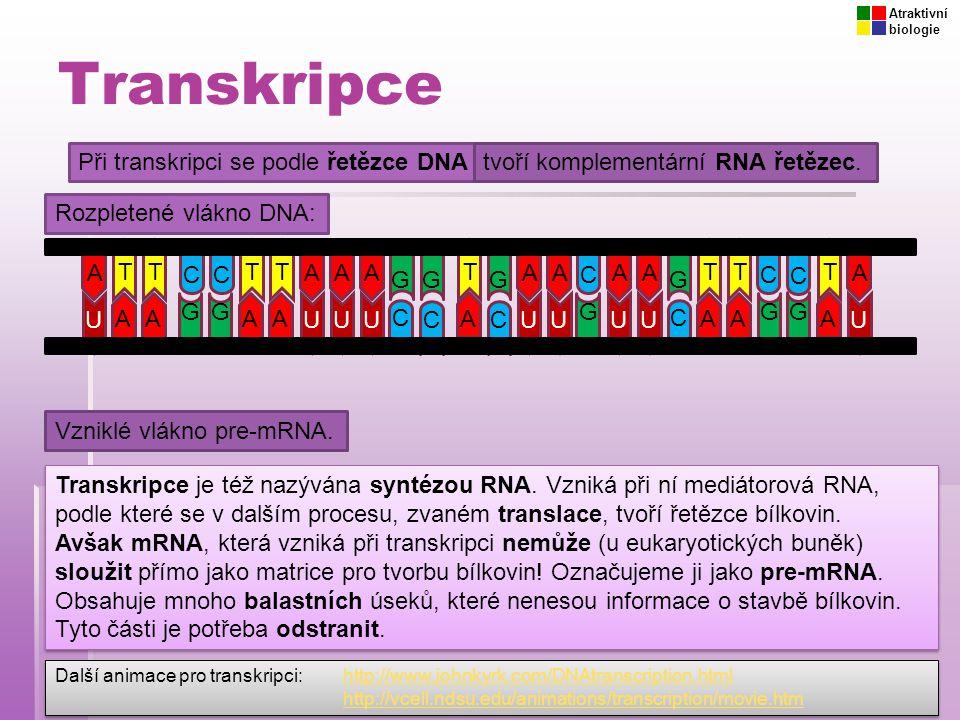 Transkripce Při transkripci se podle řetězce DNAtvoří komplementární RNA řetězec. A T C GGT C TT AAA GT AA C AA GTT C C T A Rozpletené vlákno DNA: UUU