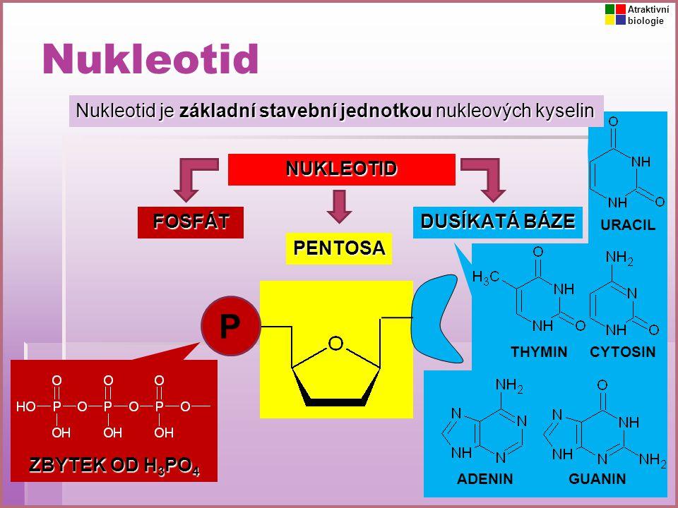 Nukleotid Nukleotid je základní stavební jednotkou nukleových kyselin P PENTOSA FOSFÁT DUSÍKATÁ BÁZE NUKLEOTID ZBYTEK OD H 3 PO 4 ADENIN THYMIN GUANIN