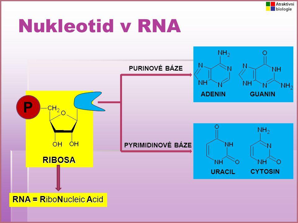 Nukleotid v DNA DEOXYRIBOSA DNA = DeoxyriboNucleic Acid ADENINGUANIN CYTOSIN PURINOVÉ BÁZE P THYMIN V DNA je URACIL nahrazený THYMINEM.