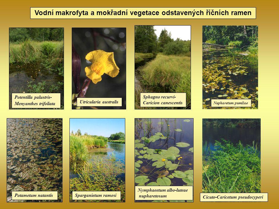 Vodní makrofyta a mokřadní vegetace odstavených říčních ramen Potentilla palustris- Menyanthes trifoliata Potametum natantisSparganietum ramosi Nympha
