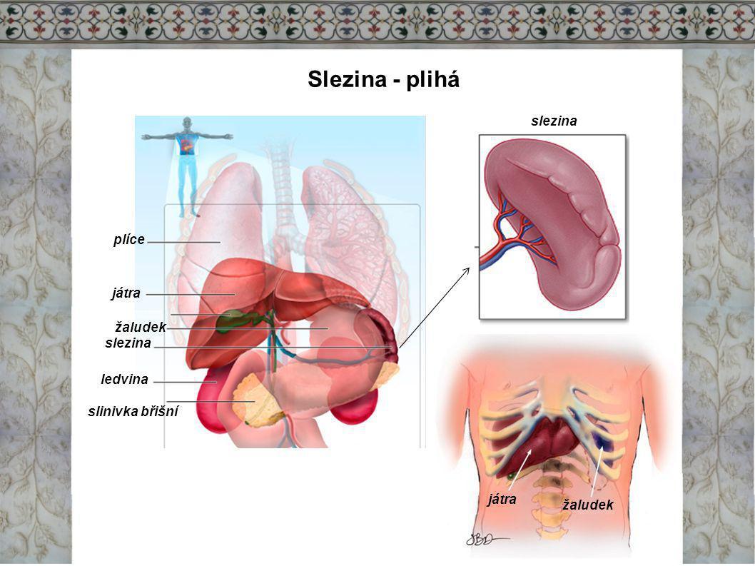 Slezina - plihá játra žaludek plíce játra žaludek slezina ledvina slinivka břišní slezina