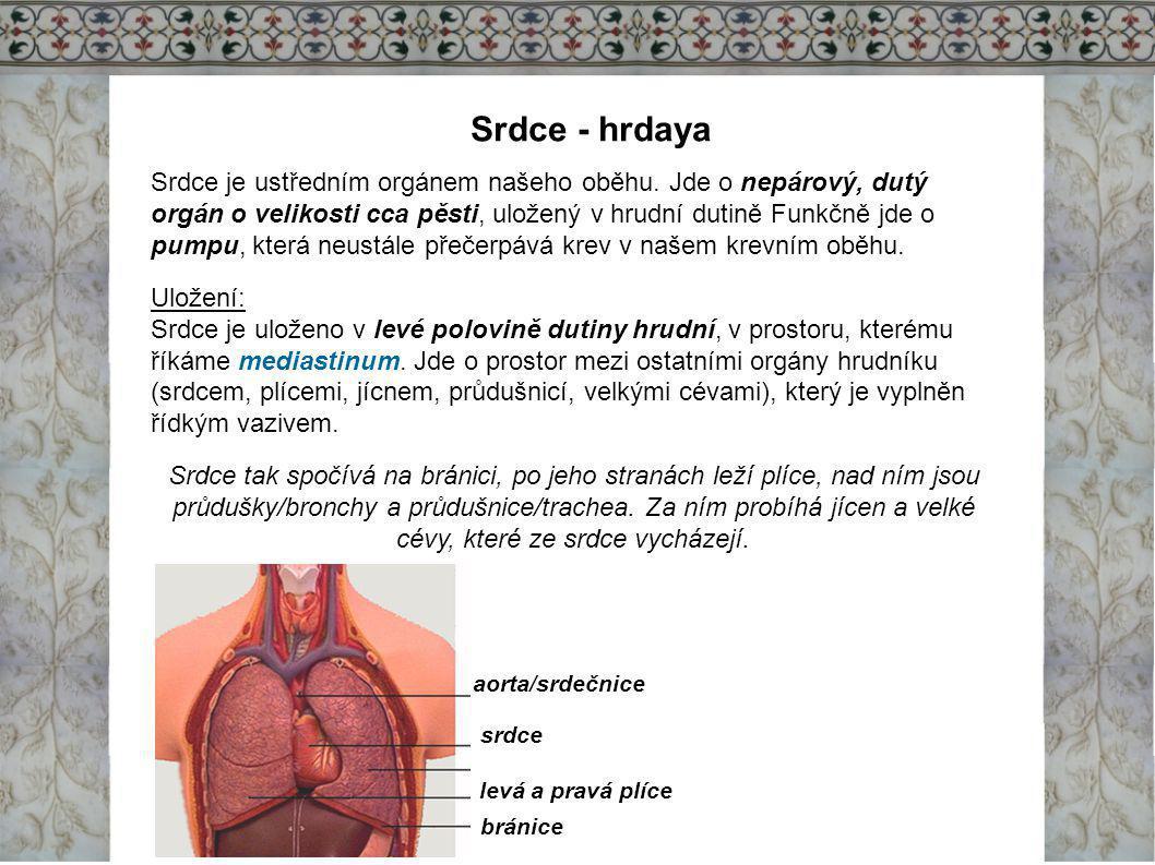 Srdce - hrdaya Srdce je ustředním orgánem našeho oběhu. Jde o nepárový, dutý orgán o velikosti cca pěsti, uložený v hrudní dutině Funkčně jde o pumpu,