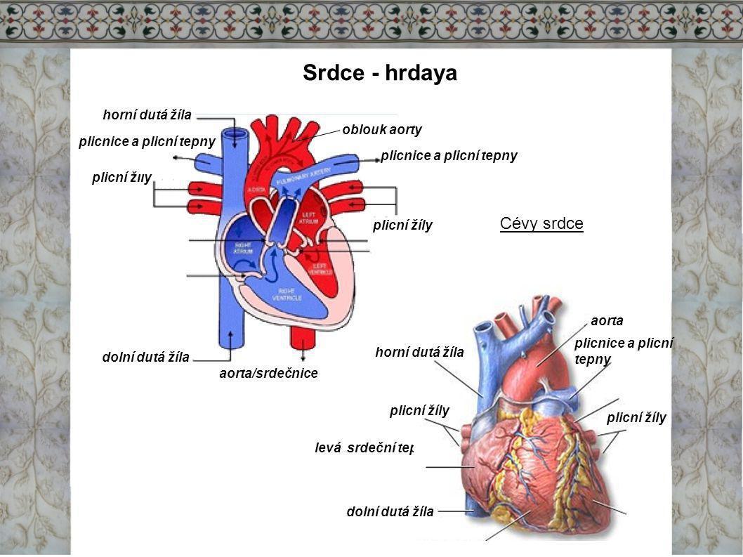 Srdce - hrdaya horní dutá žíla dolní dutá žíla plicní žíly aorta/srdečnice plicnice a plicní tepny oblouk aorty Cévy srdce levá srdeční tepna aorta pl
