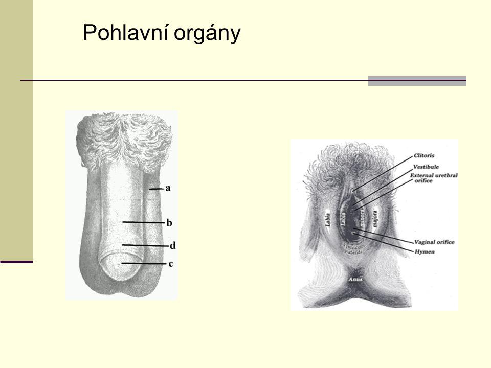 Pohlavní orgány
