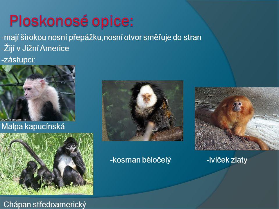 - -opice jsou ploskochodci, těžiště těla je přesunuto na zadní končetiny - -opice mají holý obličej s mimický svalem tak dokážou vyjádřit co si myslí - - lebka opic je oválnější než jiných savců - -oči směřují dopředu,opice se řídí hlavně zrakem - -podle tvaru nosu dělíme do dvou skupin:PLOSKONOSÉ - ÚZKONOSÉ