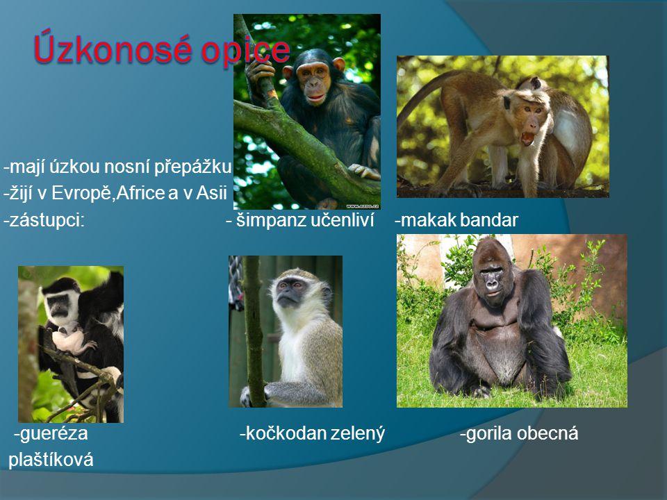 -mají úzkou nosní přepážku -žijí v Evropě,Africe a v Asii -zástupci: - šimpanz učenliví -makak bandar -gueréza -kočkodan zelený -gorila obecná plaštíková