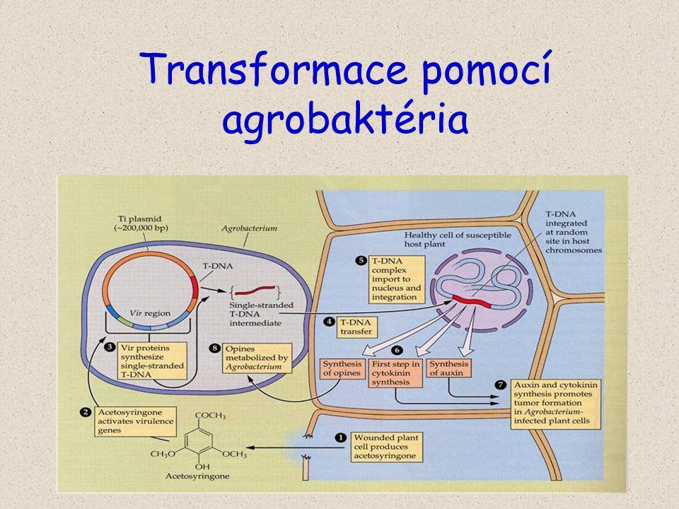 Transformace pomocí agrobaktéria