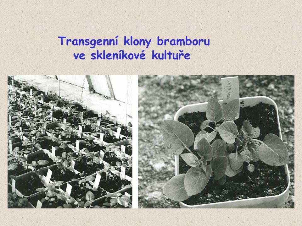 Transgenní klony bramboru ve skleníkové kultuře