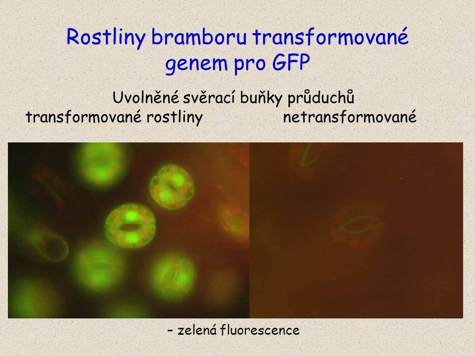 Uvolněné svěrací buňky průduchů transformované rostliny netransformované – zelená fluorescence Rostliny bramboru transformované genem pro GFP