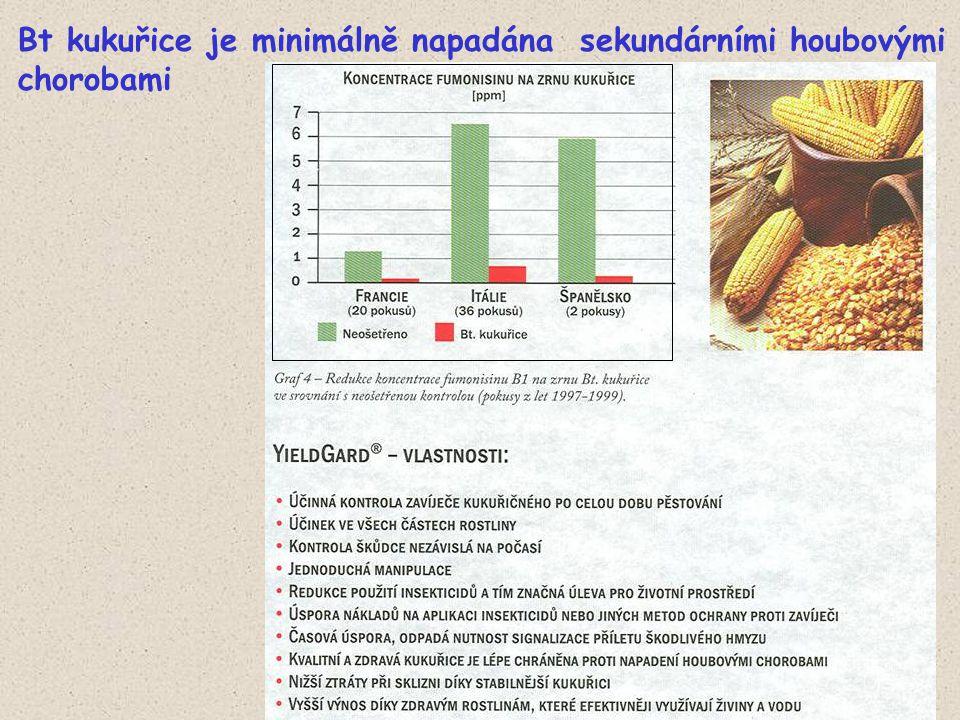 Bt kukuřice je minimálně napadána sekundárními houbovými chorobami