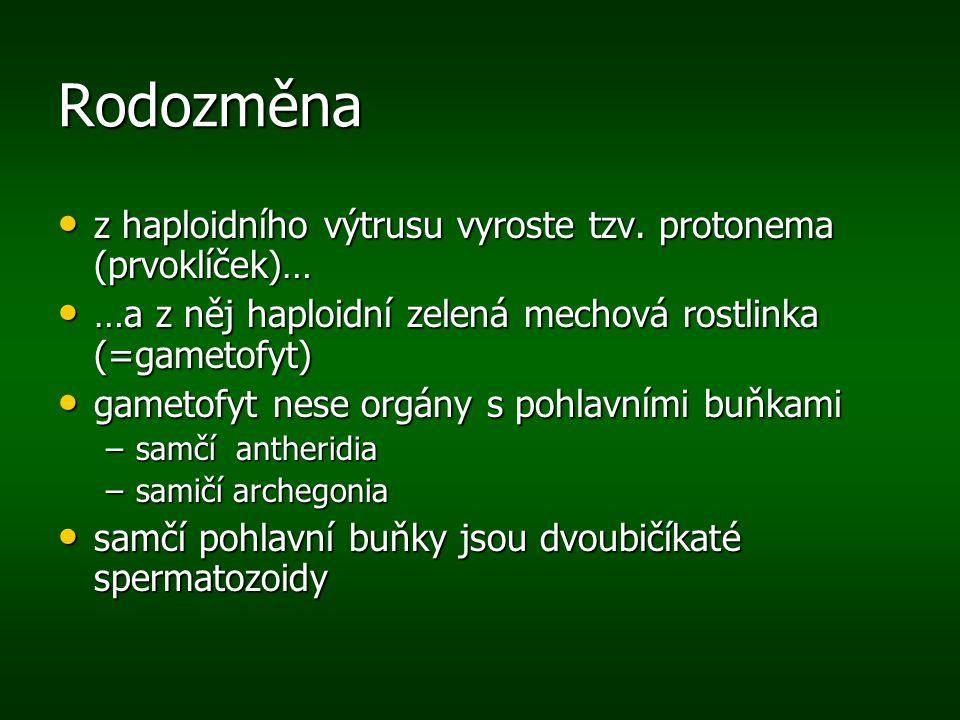 Rodozměna z haploidního výtrusu vyroste tzv. protonema (prvoklíček)… z haploidního výtrusu vyroste tzv. protonema (prvoklíček)… …a z něj haploidní zel