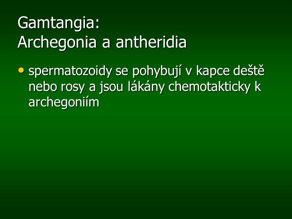 Gamtangia: Archegonia a antheridia spermatozoidy se pohybují v kapce deště nebo rosy a jsou lákány chemotakticky k archegoniím spermatozoidy se pohybu