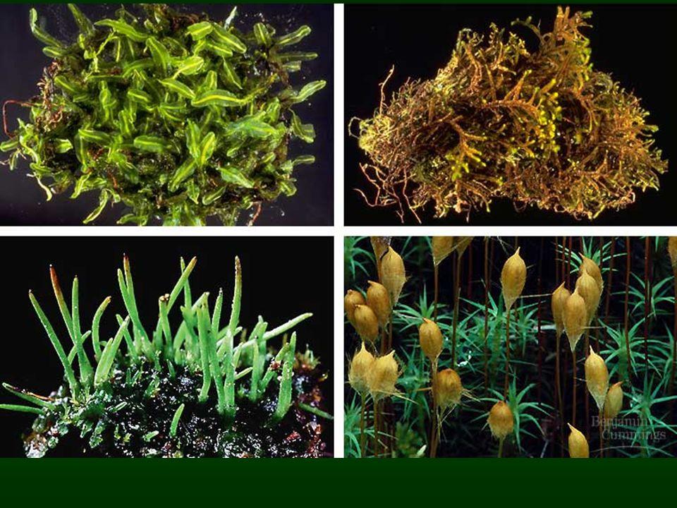Bryophyta –bryon = mech –phyton = rostlina termín je tradičně používán pro všechny necévnaté suchozemské rostliny termín je tradičně používán pro všechny necévnaté suchozemské rostliny