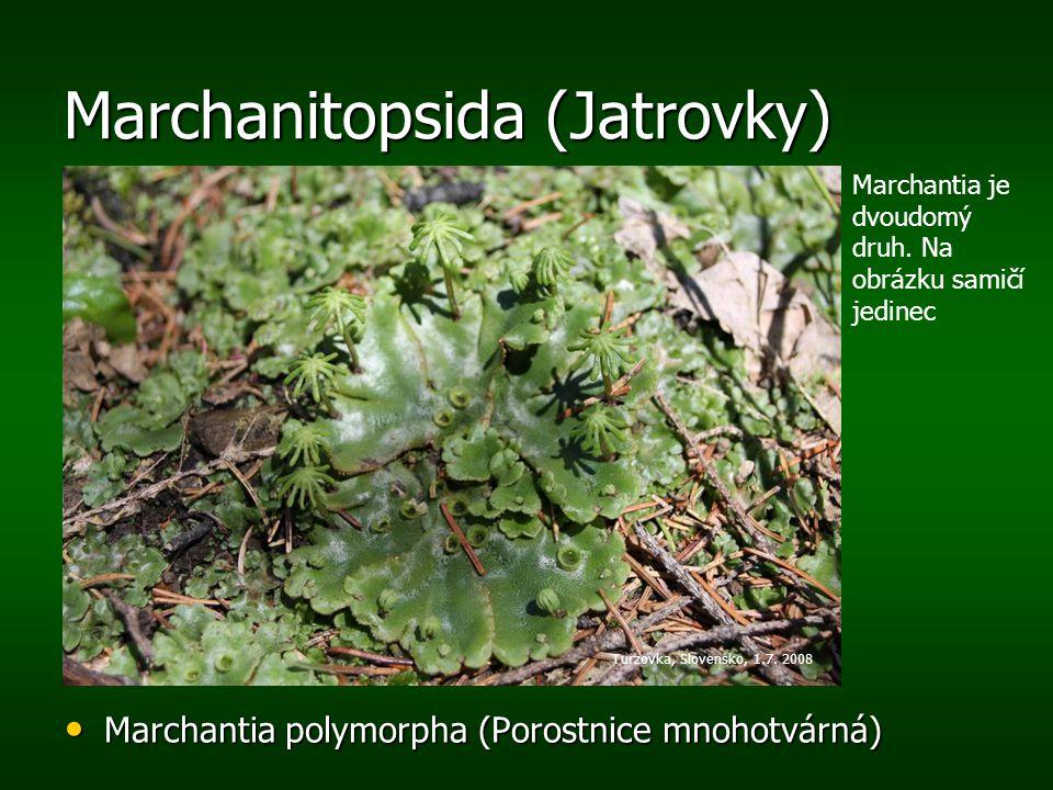 Marchanitopsida (Jatrovky) Marchantia polymorpha (Porostnice mnohotvárná) Marchantia polymorpha (Porostnice mnohotvárná) Turzovka, Slovensko, 1.7. 200