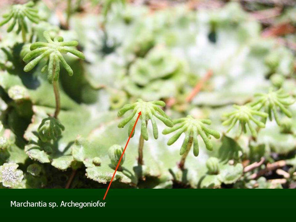 Marchantia sp. Archegoniofor
