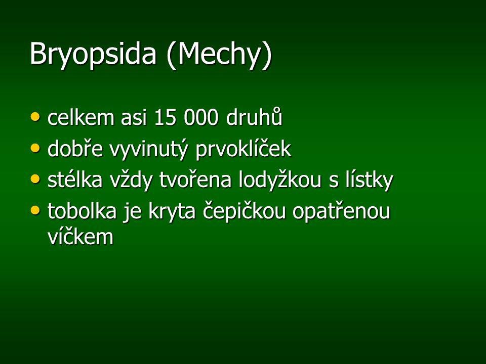 Bryopsida (Mechy) celkem asi 15 000 druhů celkem asi 15 000 druhů dobře vyvinutý prvoklíček dobře vyvinutý prvoklíček stélka vždy tvořena lodyžkou s l