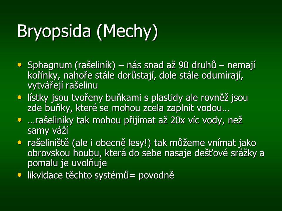 Bryopsida (Mechy) Sphagnum (rašeliník) – nás snad až 90 druhů – nemají kořínky, nahoře stále dorůstají, dole stále odumírají, vytvářejí rašelinu Sphag