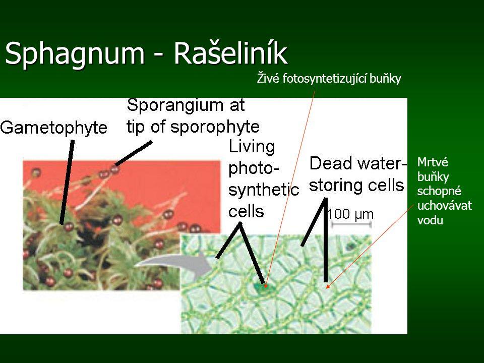 Sphagnum - Rašeliník Živé fotosyntetizující buňky Mrtvé buňky schopné uchovávat vodu