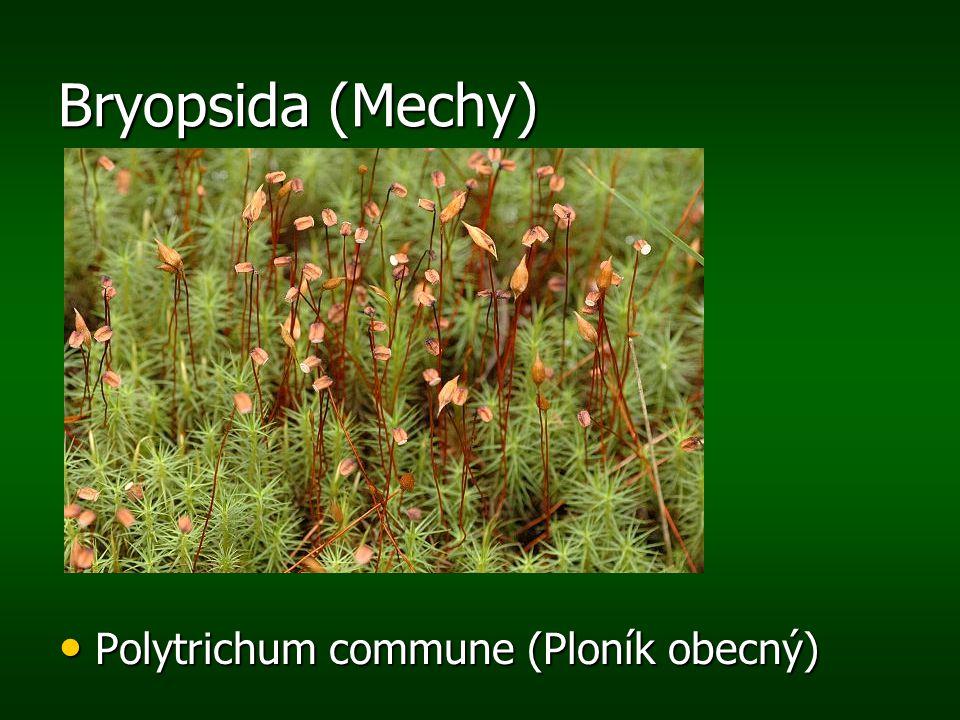 Bryopsida (Mechy) Polytrichum commune (Ploník obecný) Polytrichum commune (Ploník obecný)