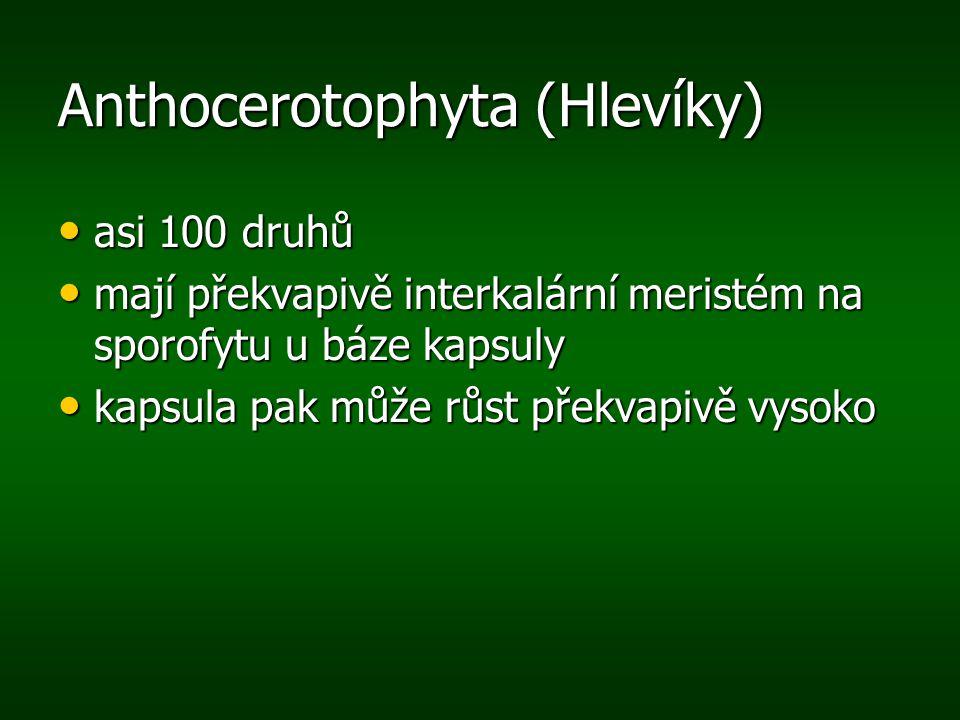 Anthocerotophyta (Hlevíky) asi 100 druhů asi 100 druhů mají překvapivě interkalární meristém na sporofytu u báze kapsuly mají překvapivě interkalární
