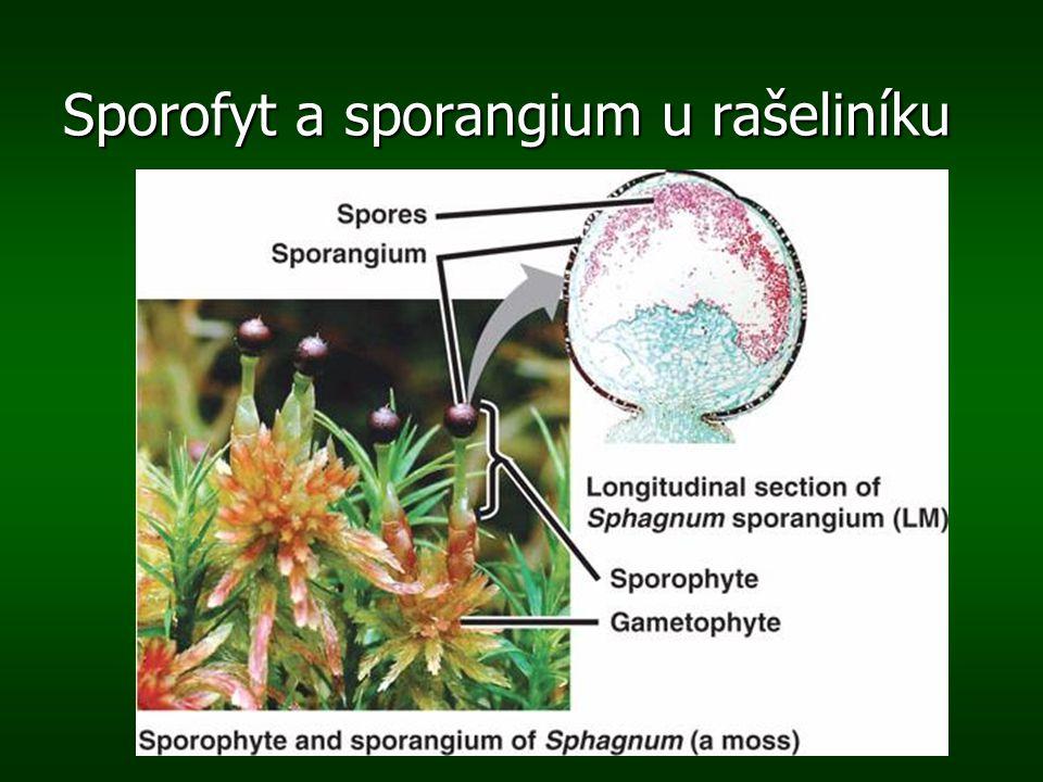 Archegoniofor šipky ukazují vznik zygoty – první buňky sporofytu