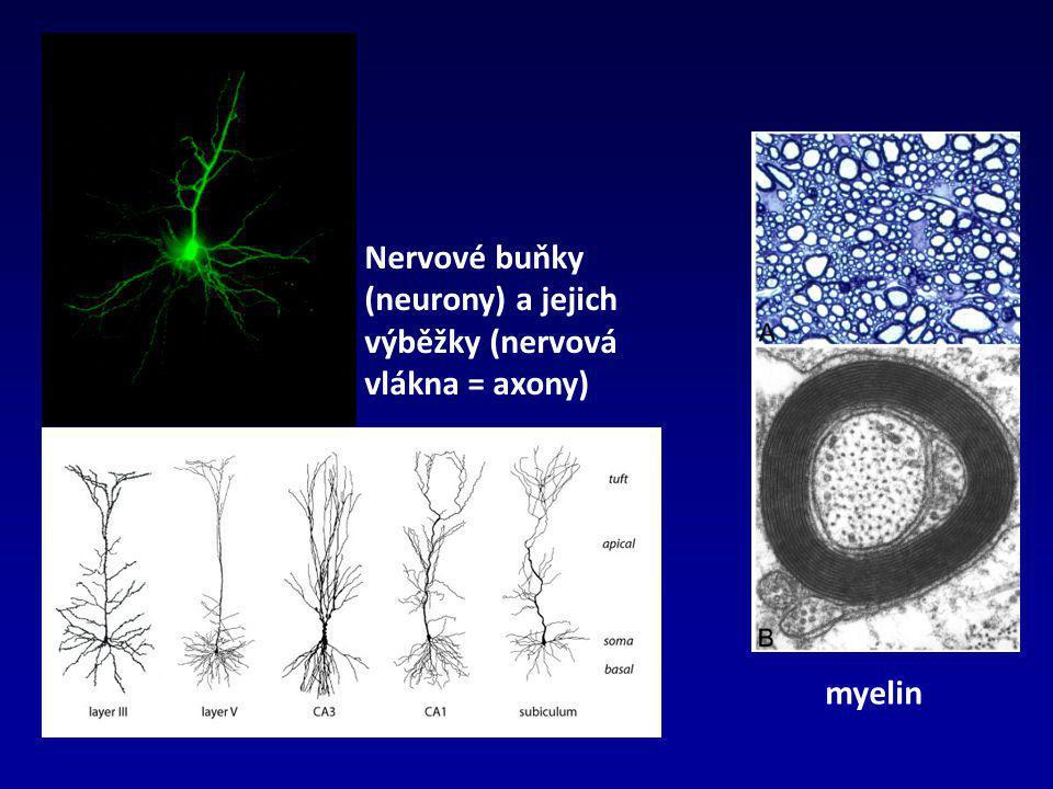 Nervové buňky (neurony) a jejich výběžky (nervová vlákna = axony) myelin
