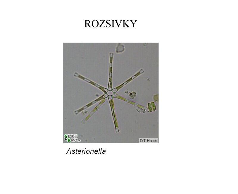 ROZSIVKY Asterionella