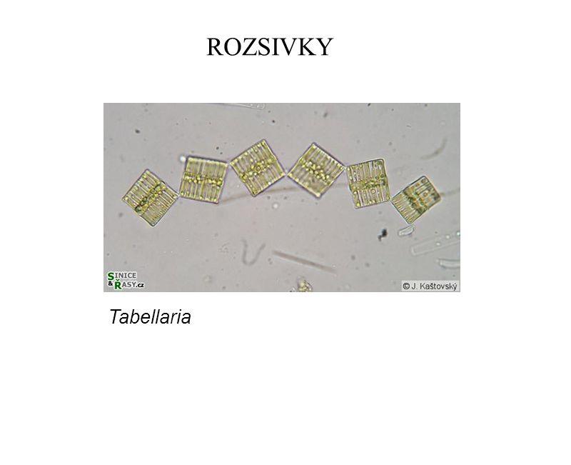 ROZSIVKY Tabellaria