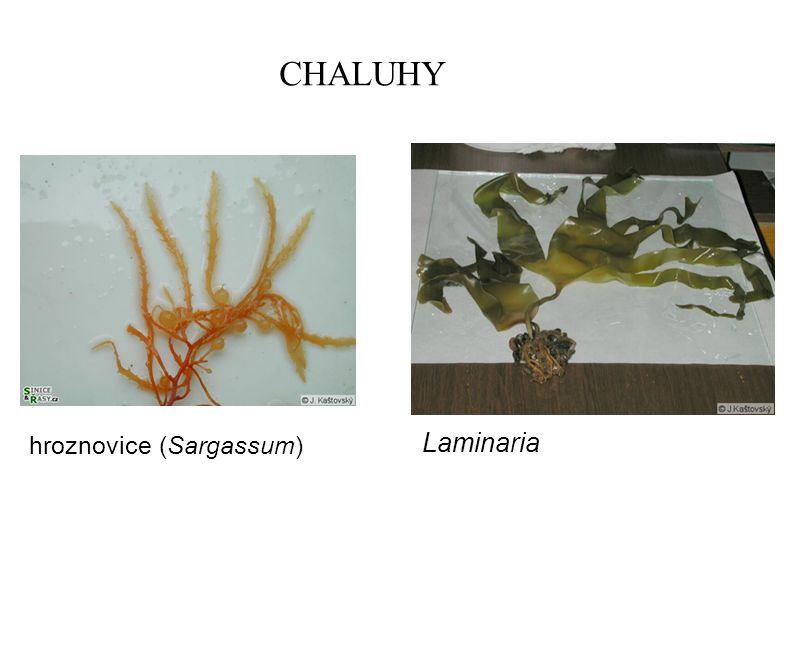 CHALUHY hroznovice (Sargassum) Laminaria