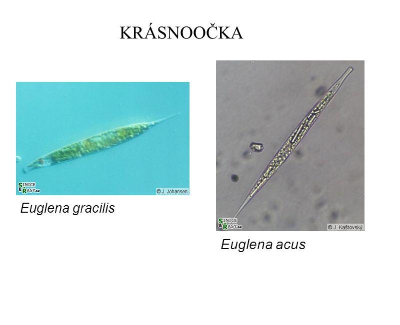 KRÁSNOOČKA Euglena gracilis Euglena acus