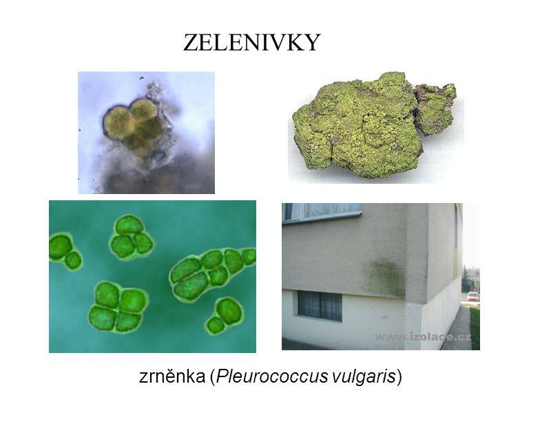 ZELENIVKY zrněnka (Pleurococcus vulgaris)