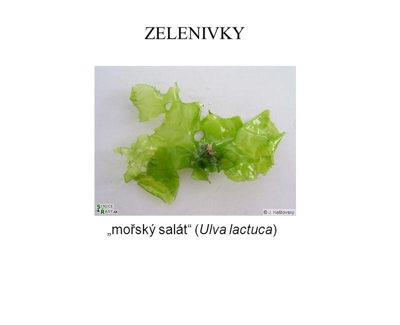 """ZELENIVKY """"mořský salát"""" (Ulva lactuca)"""
