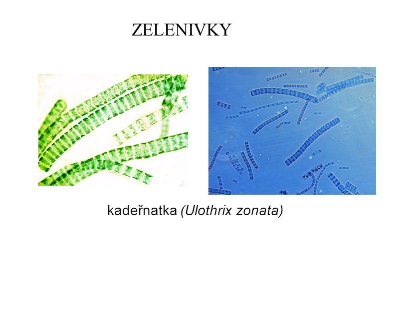 ZELENIVKY kadeřnatka (Ulothrix zonata)