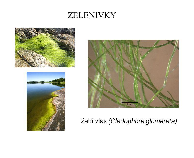 ZELENIVKY žabí vlas (Cladophora glomerata)