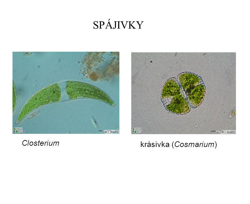 SPÁJIVKY Closterium krásivka (Cosmarium)
