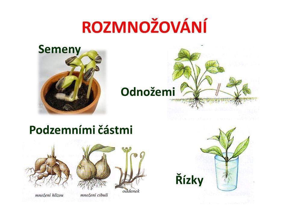 ROZMNOŽOVÁNÍ Semeny Odnožemi Řízky Podzemními částmi