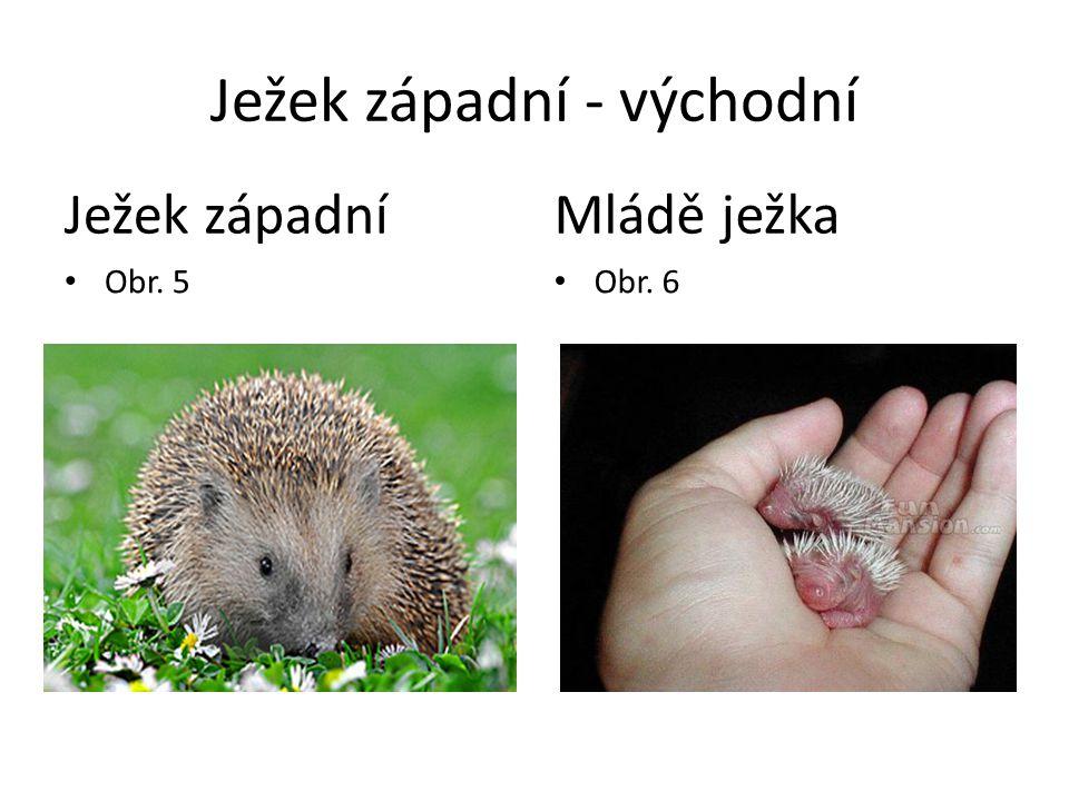 Ježek západní - východní Ježek západní Obr. 5 Mládě ježka Obr. 6