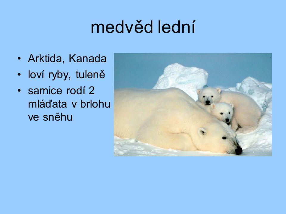 vlk obecný předek psa domácího žije ve smečce chráněný v Beskydech
